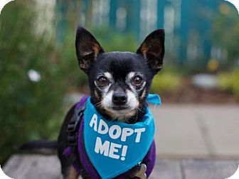 Chihuahua Mix Dog for adoption in Pacific Grove, California - Truman J Chi II