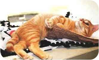 Domestic Shorthair Cat for adoption in Walker, Michigan - Mandarin