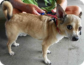 Chihuahua Mix Dog for adoption in Loudonville, New York - Levi Hector