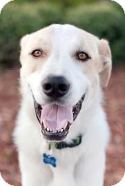 Shepherd (Unknown Type)/Hound (Unknown Type) Mix Dog for adoption in Gainesville, Florida - Cooper