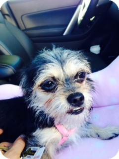 Brittany/Yorkie, Yorkshire Terrier Mix Dog for adoption in Las Vegas, Nevada - Foxy
