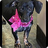Adopt A Pet :: Lucy - Rockwall, TX