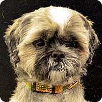 Adopt A Pet :: Dutch-Adoption pending - Bridgeton, MO