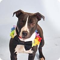 Adopt A Pet :: Brave Bart - Issaquah, WA