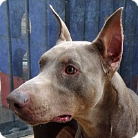 Adopt A Pet :: Adrian - Las Vegas, NV