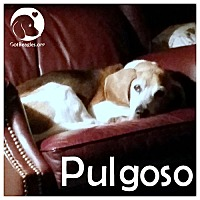 Adopt A Pet :: Pulgoso - Pittsburgh, PA