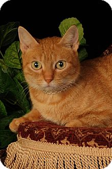 Domestic Shorthair Cat for adoption in mishawaka, Indiana - Butters