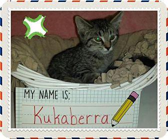 Domestic Shorthair Kitten for adoption in Iroquois, Illinois - Kukaberra