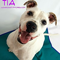 Boxer/American Pit Bull Terrier Mix Dog for adoption in Toledo, Ohio - Tia