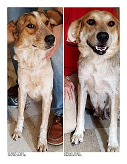 Cattle Dog/Great Pyrenees Mix Dog for adoption in Kingman, Kansas - Ruby and Esme