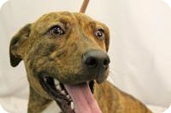 Labrador Retriever/Pit Bull Terrier Mix Dog for adoption in Huachuca City, Arizona - Maisey