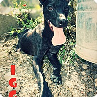 Adopt A Pet :: Iggy - Converse, TX