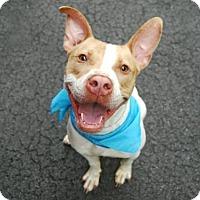 Adopt A Pet :: DINO - Brooklyn, NY