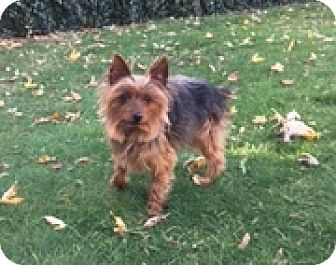 Silky Terrier Dog for adoption in N. Babylon, New York - Evan