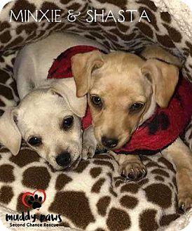 Chihuahua/Dachshund Mix Puppy for adoption in Council Bluffs, Iowa - Minxie