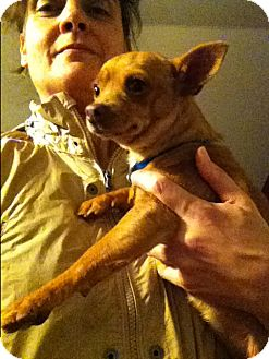 Chihuahua/Rat Terrier Mix Dog for adoption in Boerne, Texas - Catalina