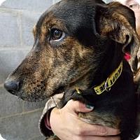 Adopt A Pet :: Baby Diesel - Rockville, MD