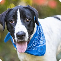 Hound (Unknown Type)/Labrador Retriever Mix Dog for adoption in Nashville, Tennessee - JETHRO