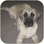 Black Mouth Cur Dog for adoption in Colorado Springs, Colorado - Diesel