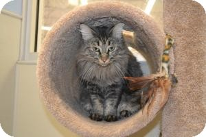 Domestic Mediumhair Cat for adoption in Gilbert, Arizona - Chloe