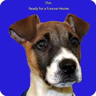 Jack russell terrier boxer mix puppy