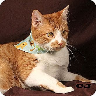 Domestic Shorthair Cat for adoption in Kerrville, Texas - CJ