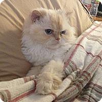 Adopt A Pet :: Midori 4 Paw Declawed - Beverly Hills, CA
