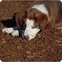 Adopt A Pet :: Hollie - Ft. Myers, FL