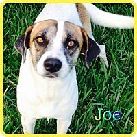 Adopt A Pet :: Joe - Hollywood, FL