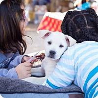 Adopt A Pet :: Sierra Mist - Austin, TX