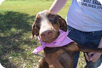 Doberman Pinscher Dog for adoption in McAllen, Texas - Barbie