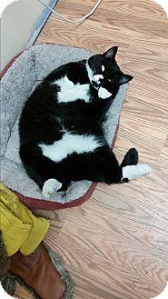 Domestic Mediumhair Cat for adoption in St. Johnsbury, Vermont - Nakita