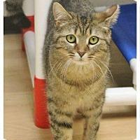 "Adopt A Pet :: Bobcat ""Bobbi"" - Shippenville, PA"