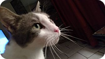 Domestic Shorthair Cat for adoption in Tampa, Florida - Sam