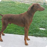 Adopt A Pet :: Bear - Tracy, CA
