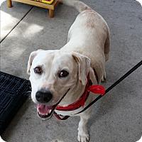 Adopt A Pet :: Krypto - Seminole, FL