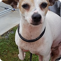 Chihuahua Dog for adoption in Hot Springs, Virginia - Biscuit