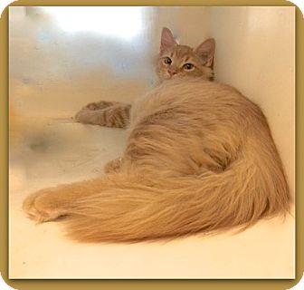 Domestic Longhair Cat for adoption in Pampa, Texas - Calvin Sunshine 23389