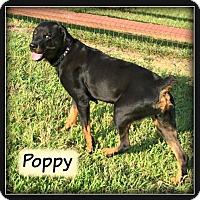 Rottweiler Dog for adoption in Doylestown, Pennsylvania - Poppy