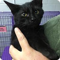 Domestic Shorthair Kitten for adoption in Paducah, Kentucky - Jessie