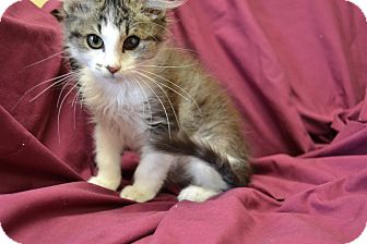 Domestic Longhair Kitten for adoption in Larned, Kansas - Thomas