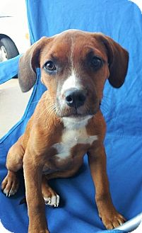 Hound (Unknown Type)/Pit Bull Terrier Mix Puppy for adoption in Wichita Falls, Texas - Janeway