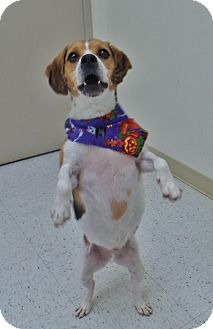 Beagle Mix Dog for adoption in Chambersburg, Pennsylvania - Sebastian