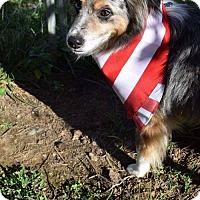 Australian Shepherd Dog for adoption in Lewistown, Pennsylvania - Marley Aussie