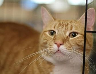 Domestic Shorthair Cat for adoption in New York, New York - Gallagher