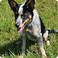 Adopt A Pet :: BLUE BELLE - New Iberia, LA