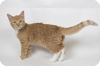 Domestic Shorthair Kitten for adoption in Lombard, Illinois - Bruce