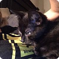 Domestic Shorthair Kitten for adoption in Nokesville, Virginia - Oakland