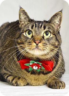Domestic Shorthair Cat for adoption in Dublin, California - Rosalee