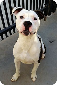 Boxer/American Pit Bull Terrier Mix Dog for adoption in Santa Maria, California - Tebow